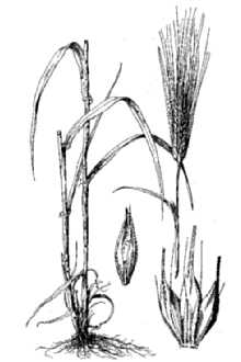 Barley anatomy image courtesy of usda nrcs plants database hitchcock as rev a chase 1950 manual of the grasses of the united states usda misc publ no 200 ccuart Gallery