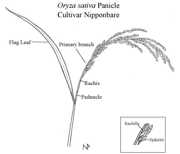 Oryza Illustrations