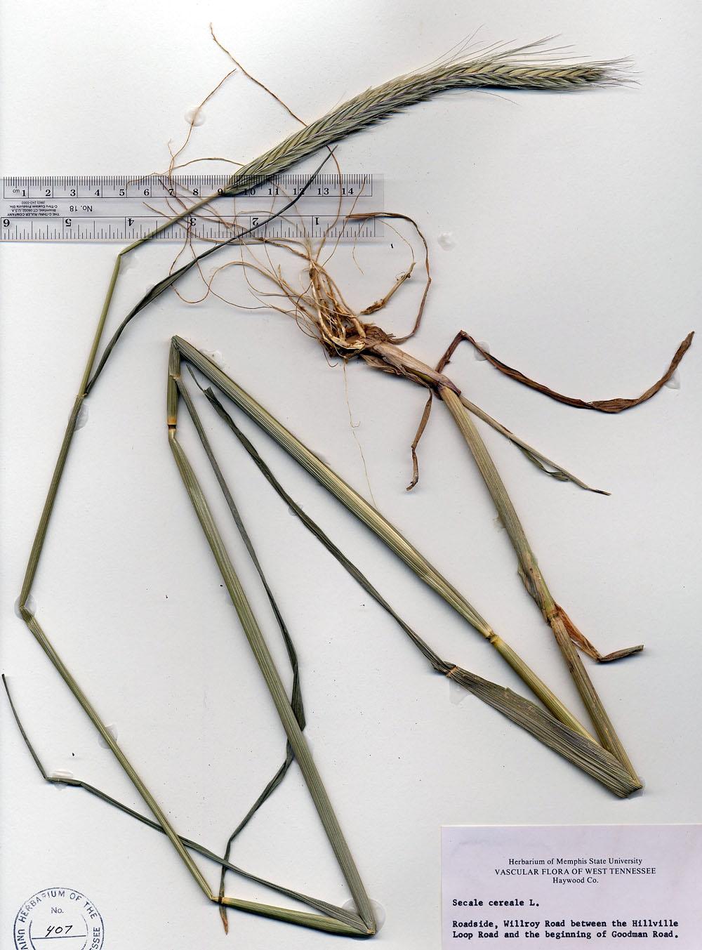 Rye Anatomy