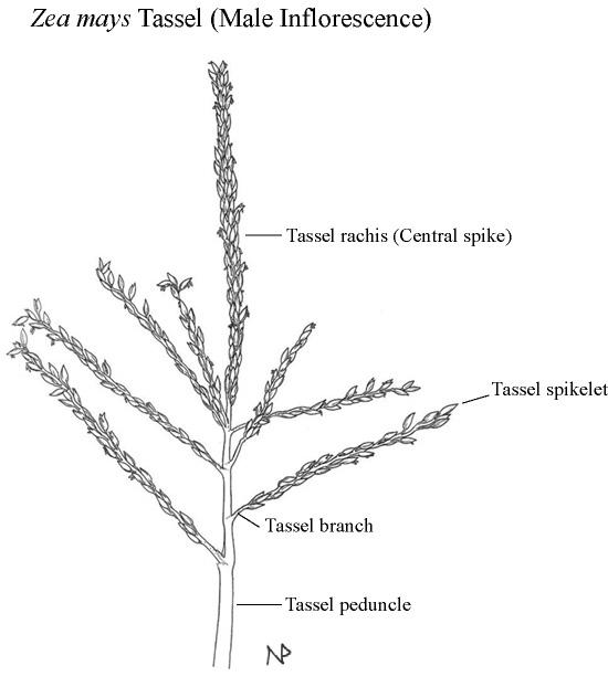 corn root diagram